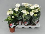 Доставка комнатных цветов в екатеринбурге цветы с доставкой доставка цветов киев