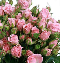 Роза розовая кустовая